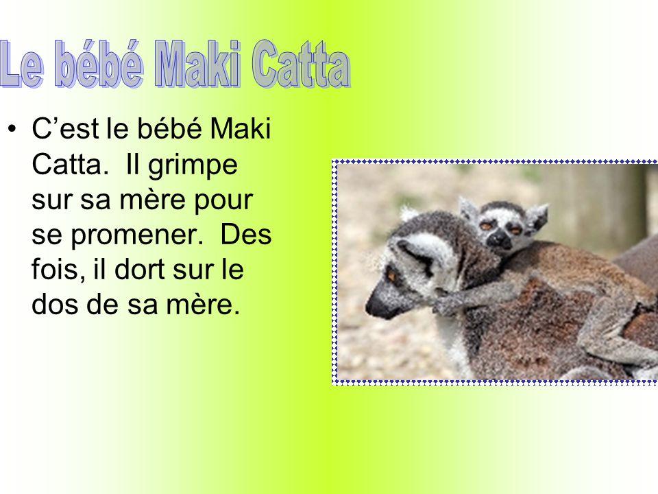 Le bébé Maki Catta C'est le bébé Maki Catta. Il grimpe sur sa mère pour se promener.