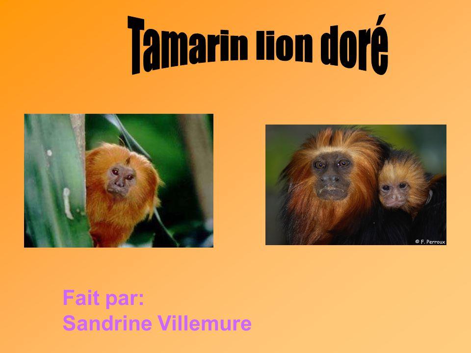 Tamarin lion doré Fait par: Sandrine Villemure