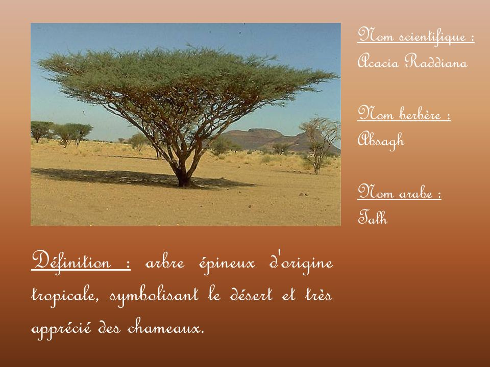 Nom scientifique : Acacia Raddiana