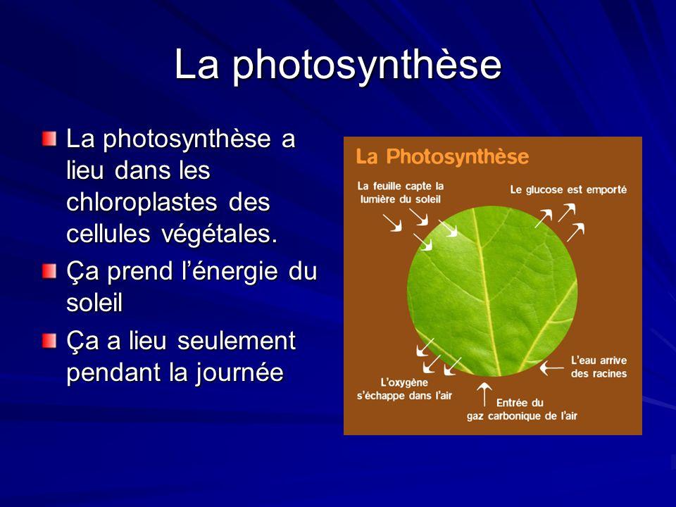 La photosynthèseLa photosynthèse a lieu dans les chloroplastes des cellules végétales. Ça prend l'énergie du soleil.