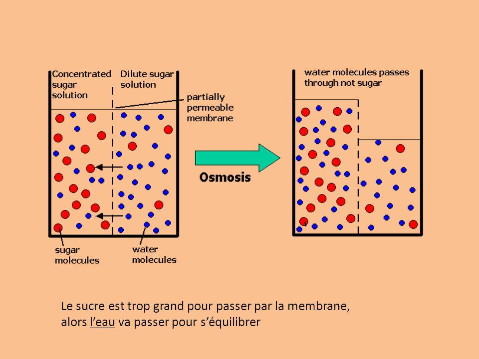 Le sucre est trop grand pour passer par la membrane, alors l'eau va passer pour s'équilibrer