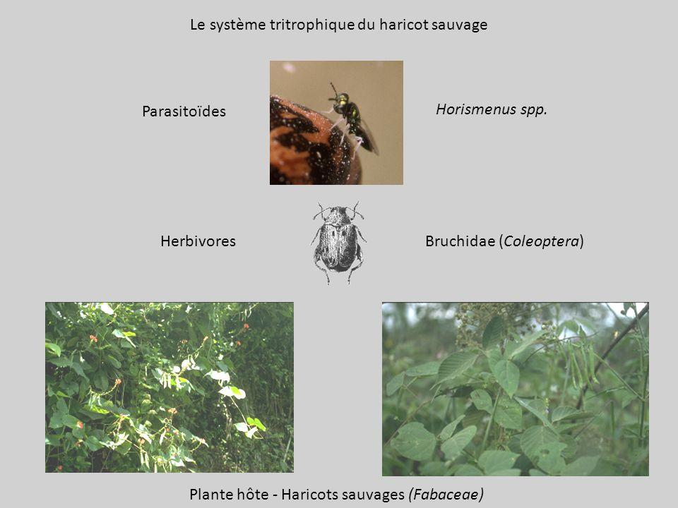Le système tritrophique du haricot sauvage