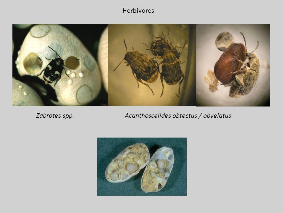 Herbivores Zabrotes spp. Acanthoscelides obtectus / obvelatus