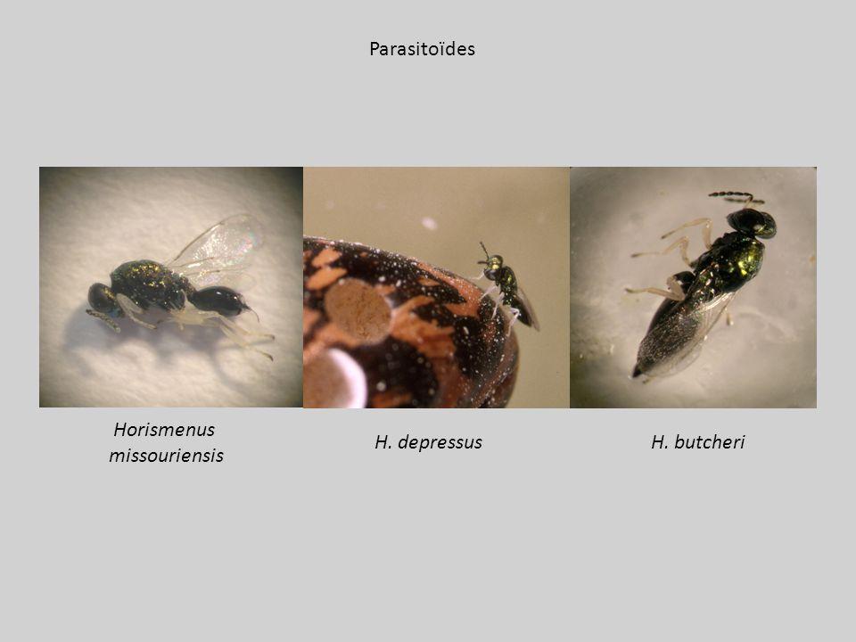 Parasitoïdes Horismenus missouriensis H. butcheri H. depressus