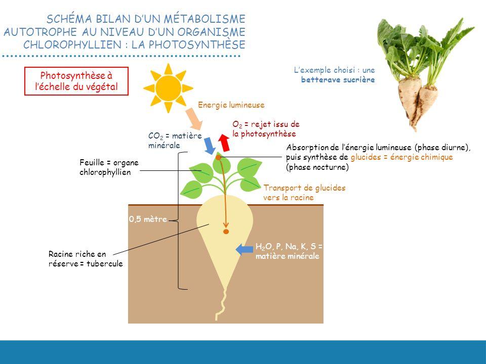 Photosynthèse à l'échelle du végétal