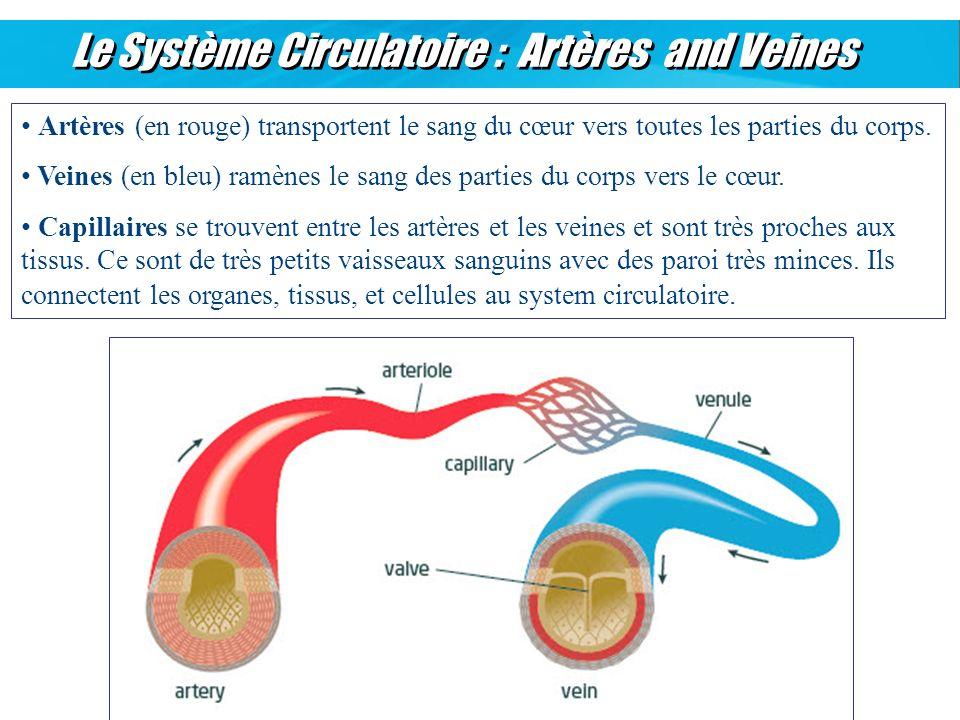 Le Système Circulatoire : Artères and Veines