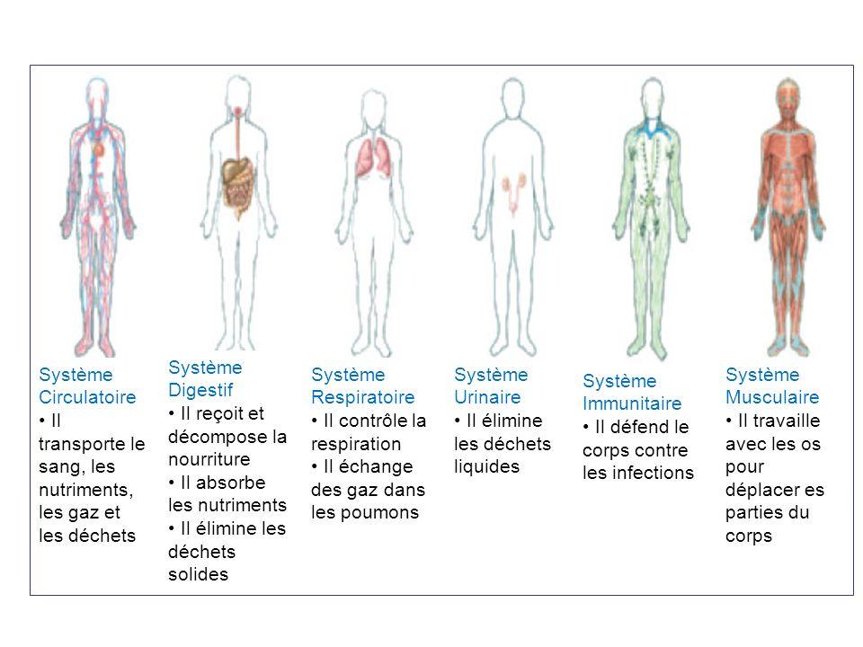 Système Circulatoire Il transporte le sang, les nutriments, les gaz et les déchets. Système Digestif.
