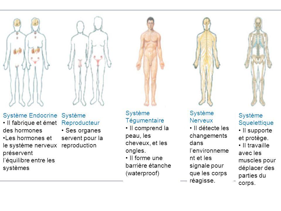 Système Endocrine Il fabrique et émet des hormones. Les hormones et le système nerveux préservent l'équilibre entre les systèmes.