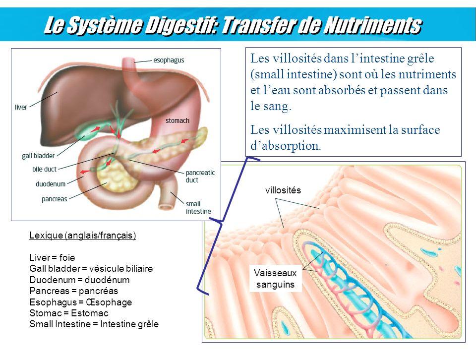 Le Système Digestif: Transfer de Nutriments