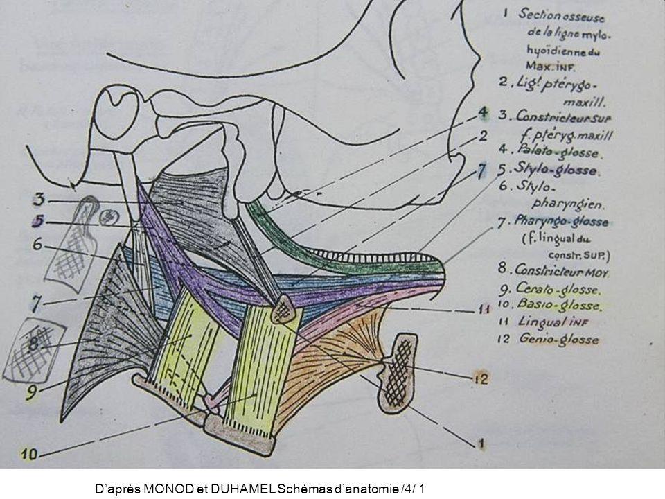 D'après MONOD et DUHAMEL Schémas d'anatomie /4/ 1