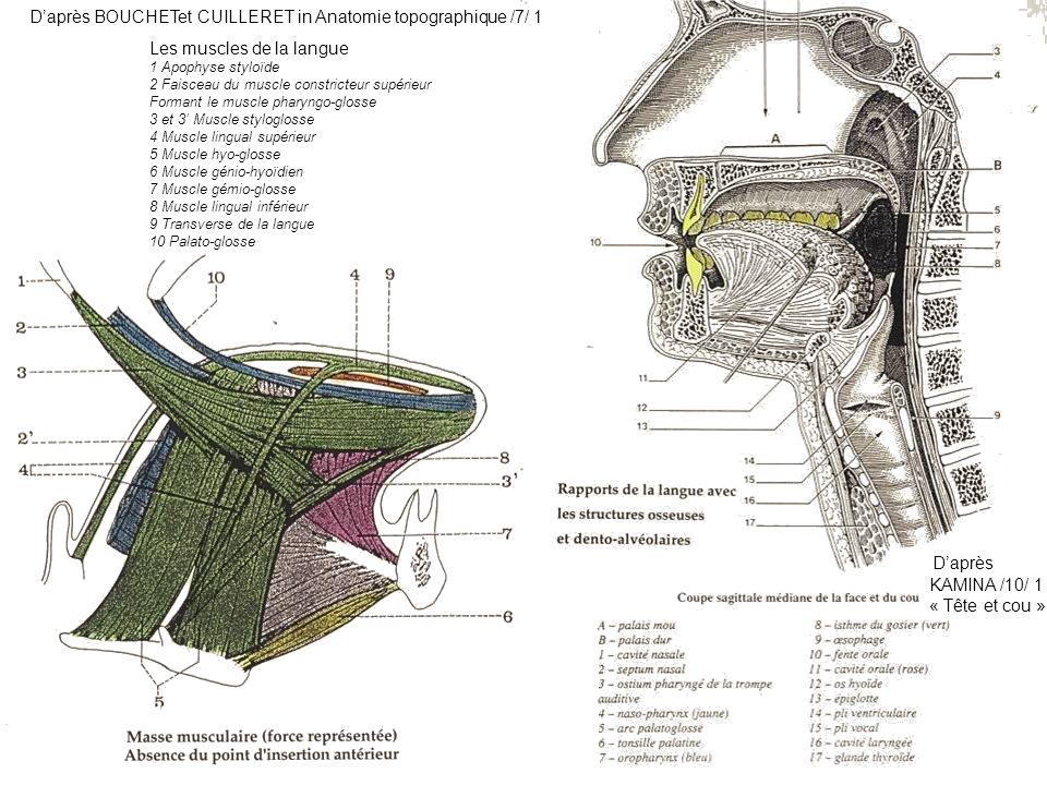 D'après BOUCHETet CUILLERET in Anatomie topographique /7/ 1