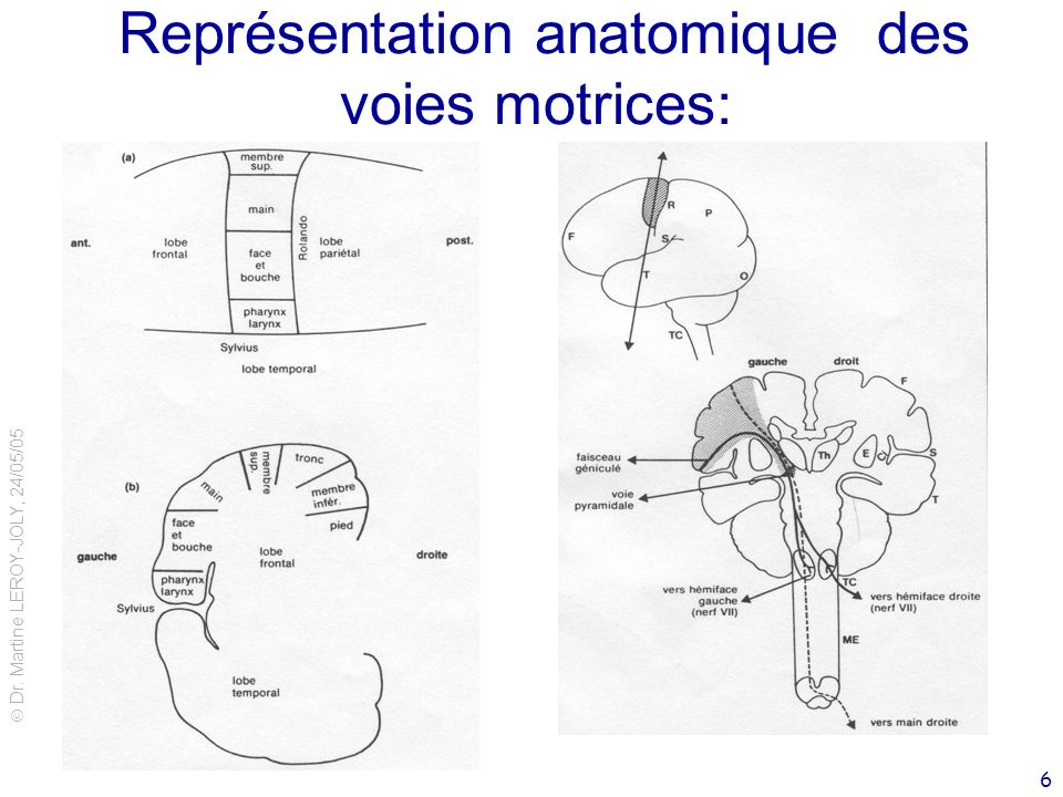 Représentation anatomique des voies motrices: