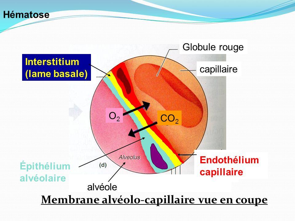 Membrane alvéolo-capillaire vue en coupe