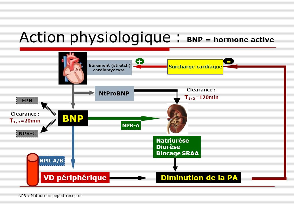 Action physiologique : BNP = hormone active