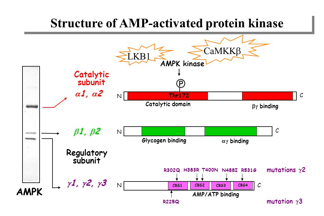 Structure of AMP-activated protein kinase