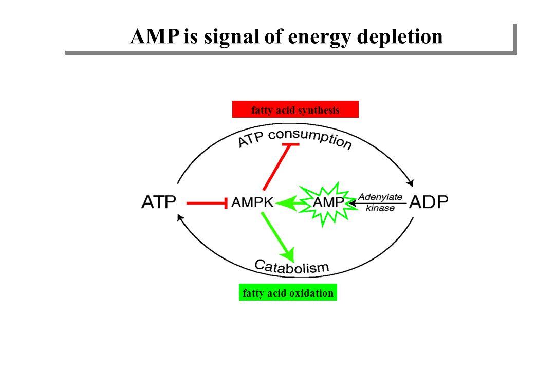 AMP is signal of energy depletion