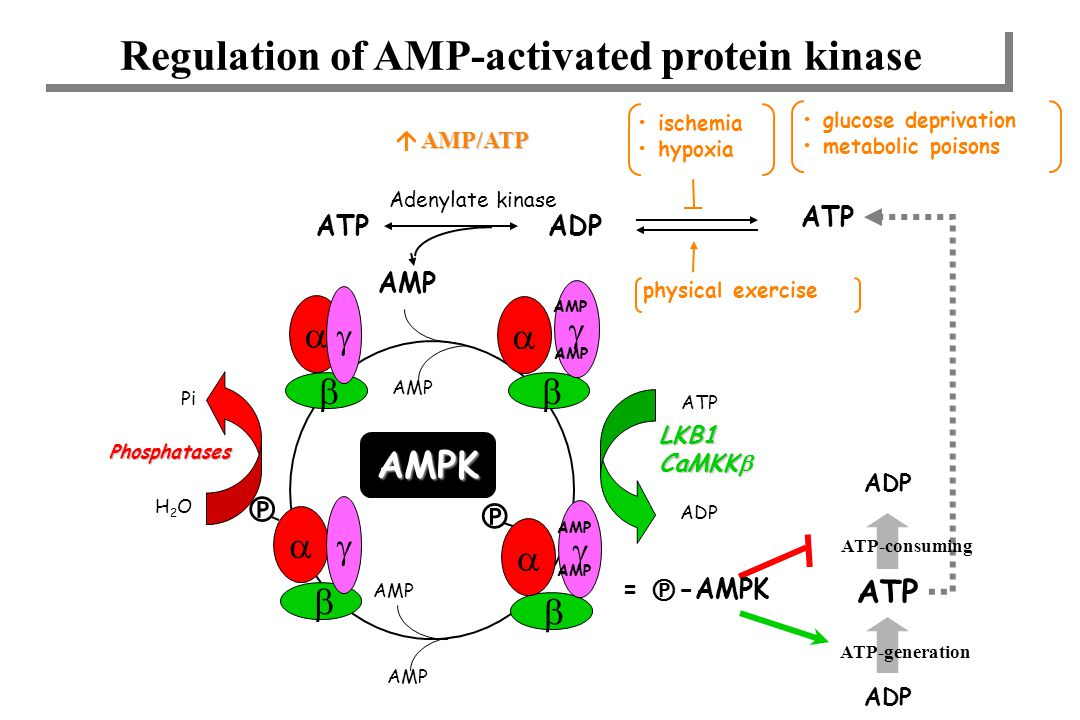 Regulation of AMP-activated protein kinase