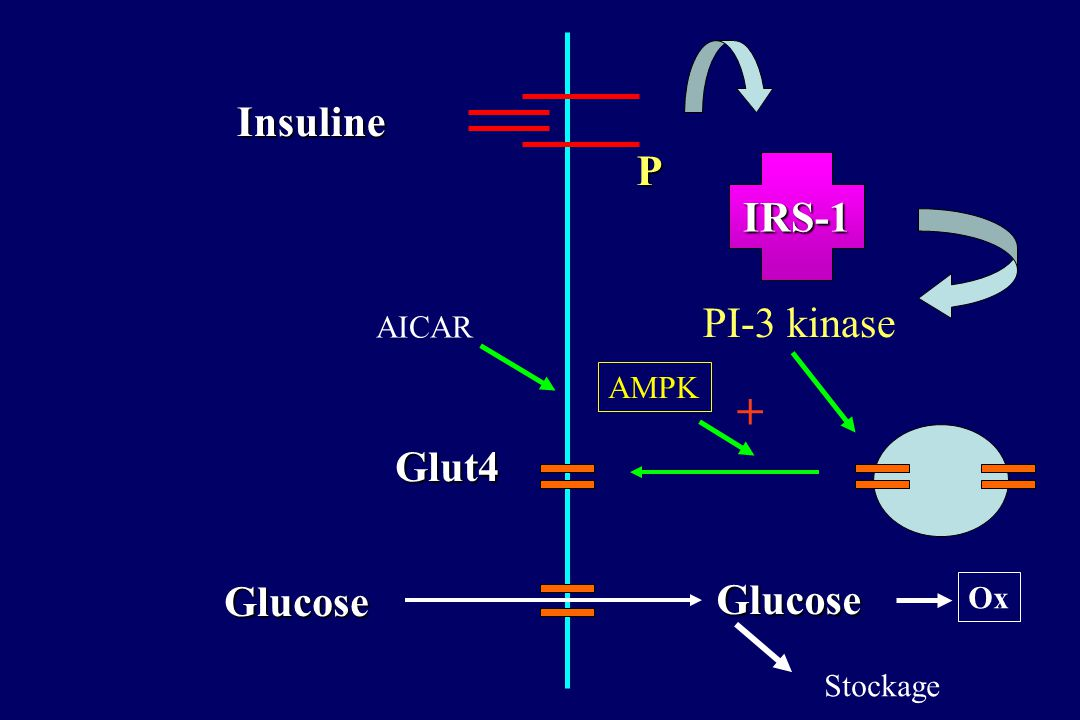 + Insuline P IRS-1 PI-3 kinase Glut4 Glucose Glucose AICAR AMPK Ox