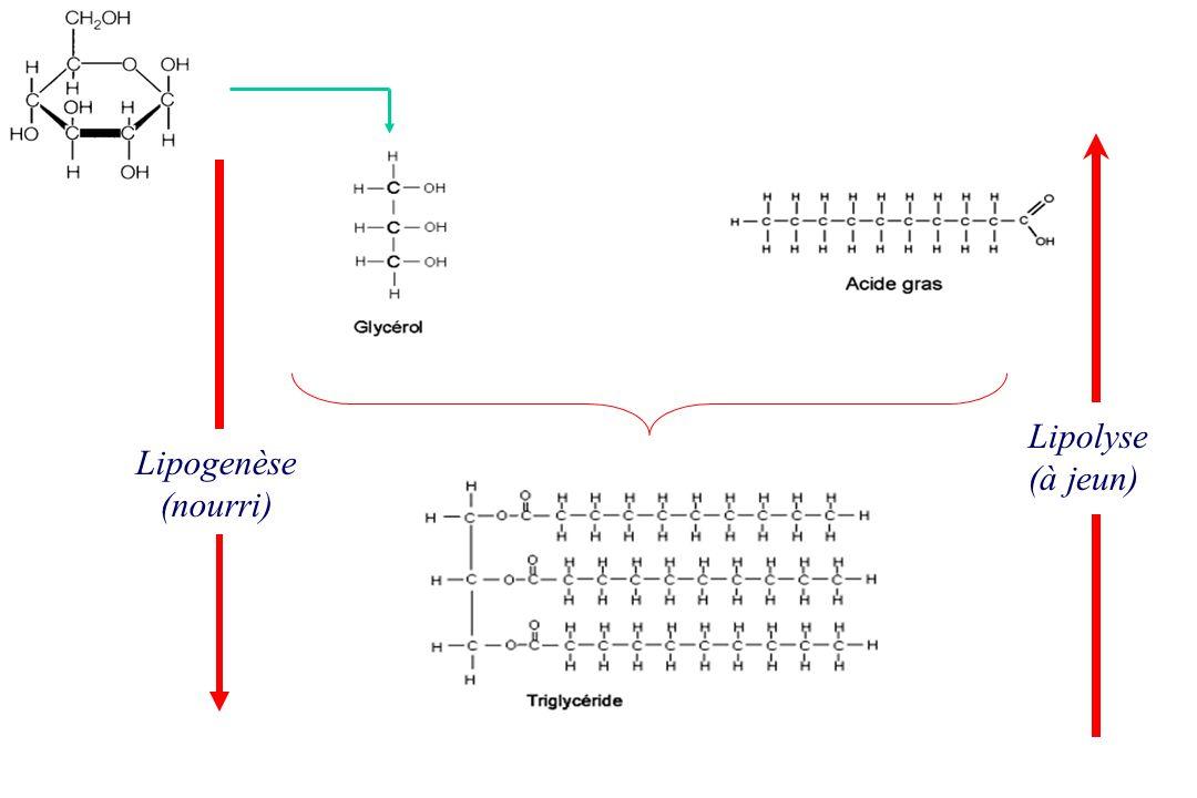 Lipolyse (à jeun) Lipogenèse (nourri)