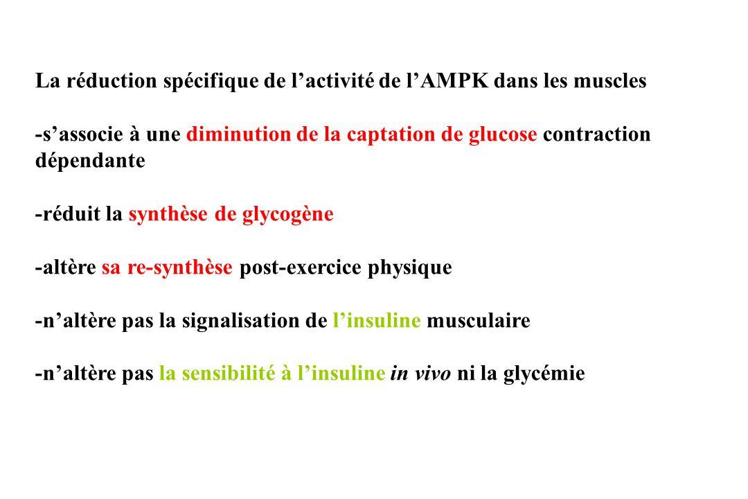La réduction spécifique de l'activité de l'AMPK dans les muscles