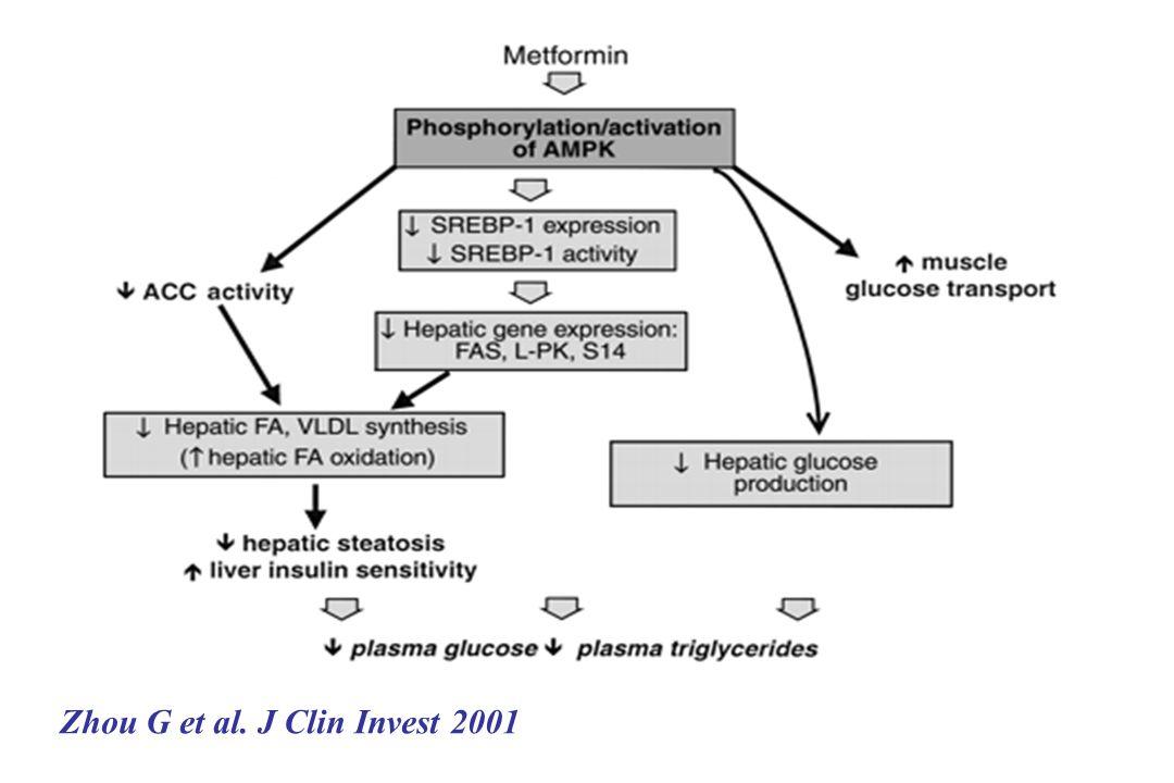 Zhou G et al. J Clin Invest 2001
