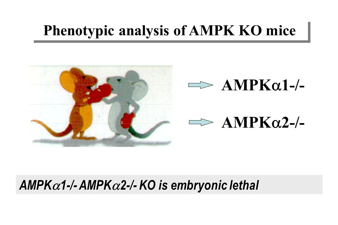 Phenotypic analysis of AMPK KO mice