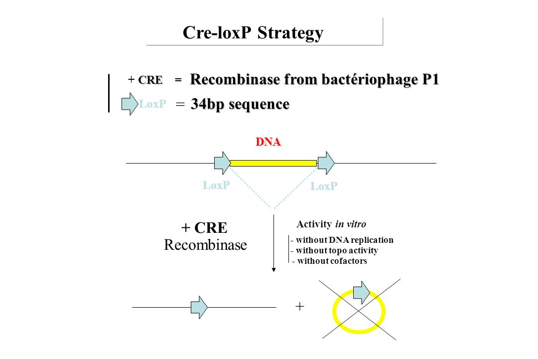Cre-loxP Strategy Recombinase from bactériophage P1 = 34bp sequence