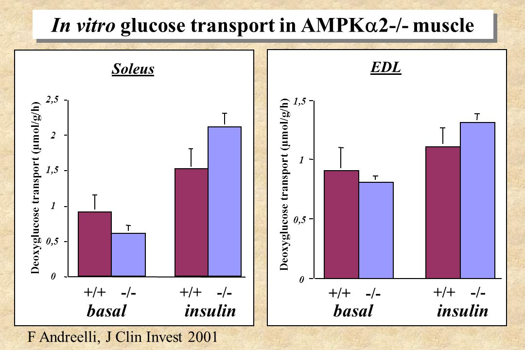 In vitro glucose transport in AMPK2-/- muscle