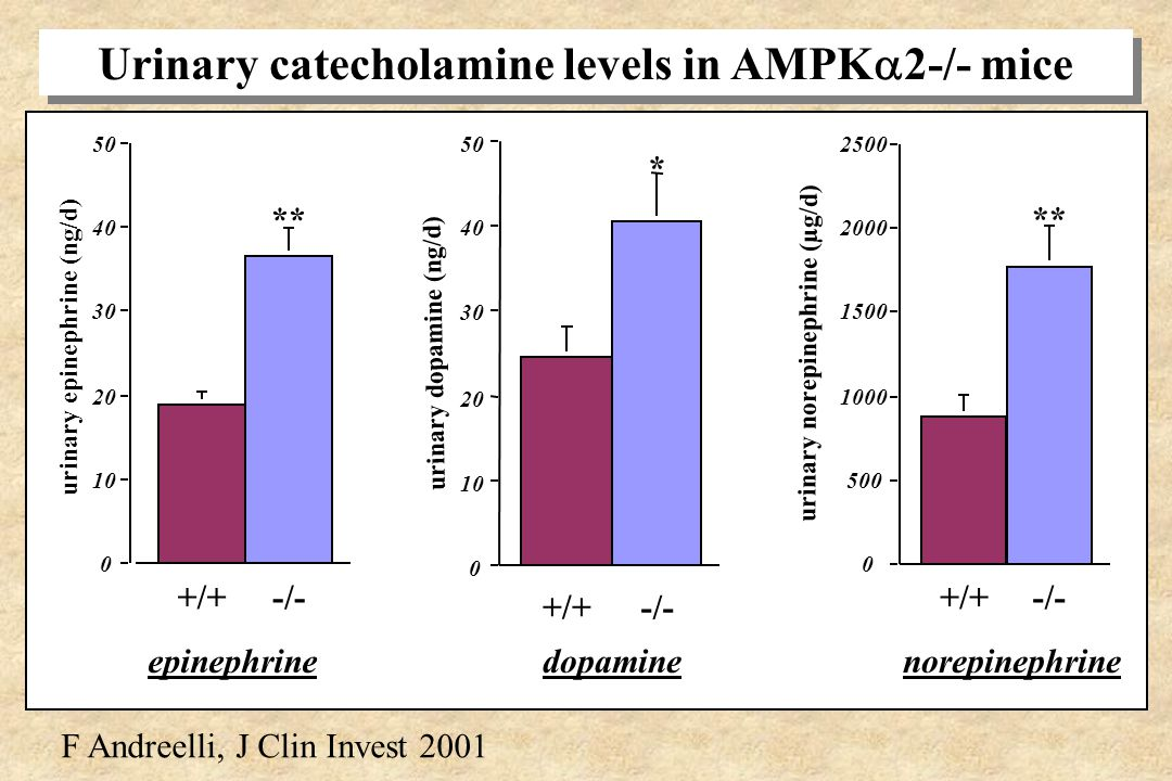 Urinary catecholamine levels in AMPK2-/- mice
