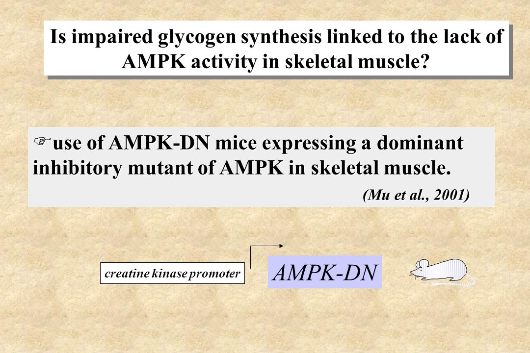 Is impaired glycogen synthesis linked to the lack of AMPK activity in skeletal muscle