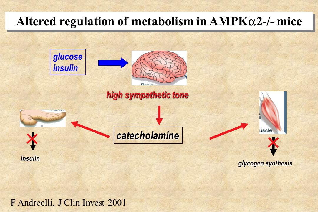 Altered regulation of metabolism in AMPK2-/- mice
