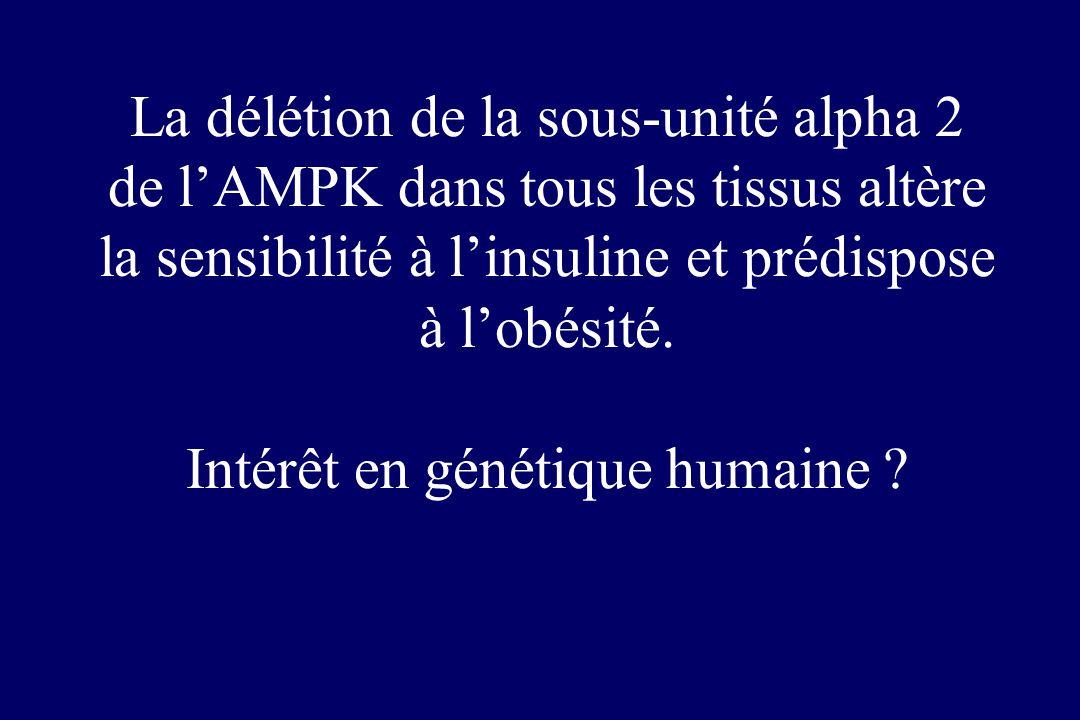 La délétion de la sous-unité alpha 2 de l'AMPK dans tous les tissus altère la sensibilité à l'insuline et prédispose à l'obésité.