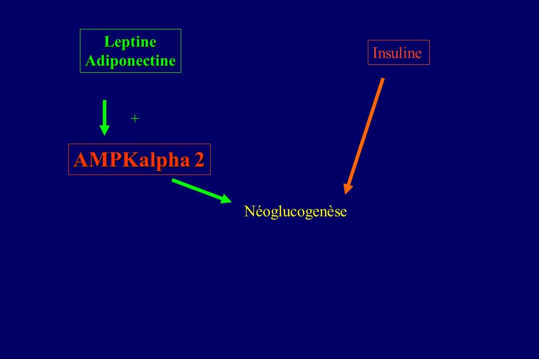 Leptine Adiponectine Insuline + AMPKalpha 2 Néoglucogenèse