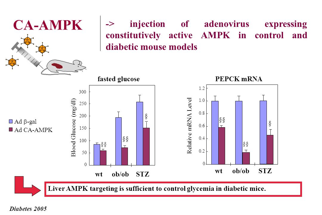 CA-AMPK -> injection of adenovirus expressing constitutively active AMPK in control and diabetic mouse models.