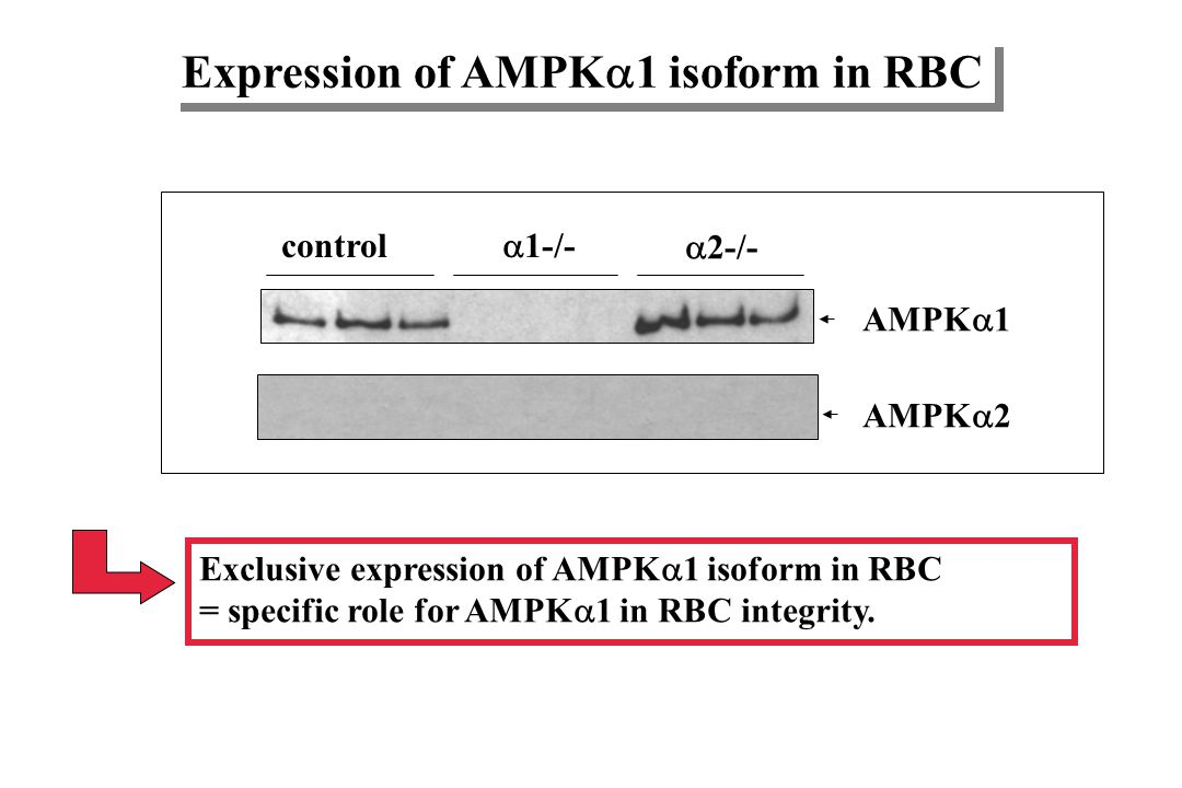 Expression of AMPK1 isoform in RBC