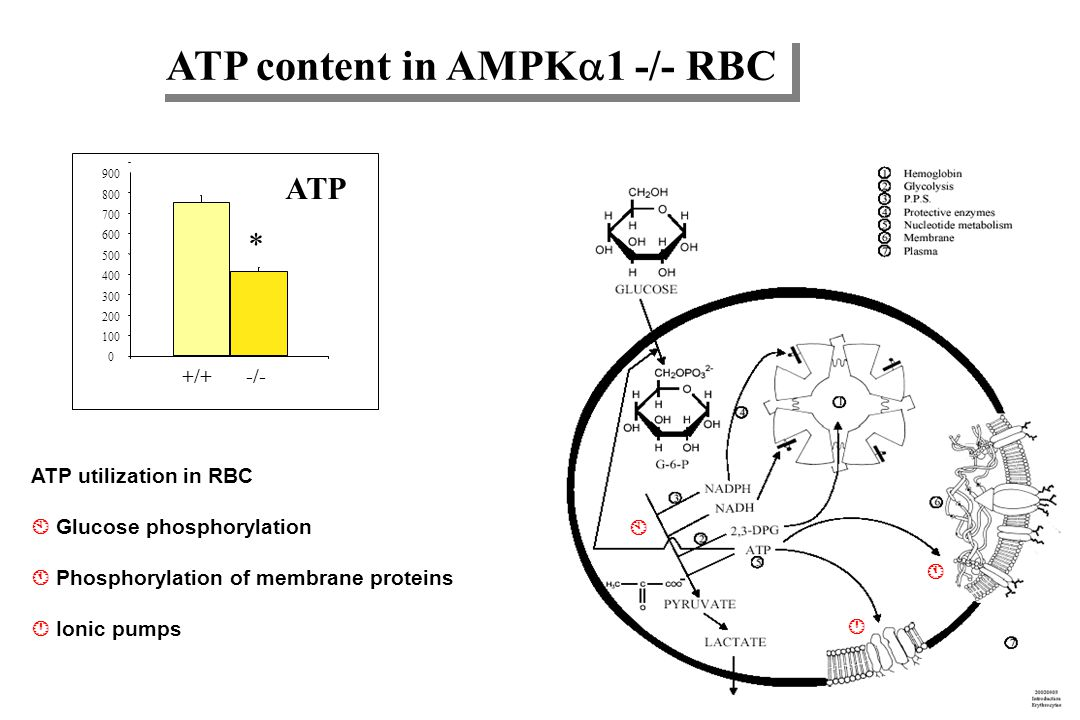 ATP content in AMPK1 -/- RBC