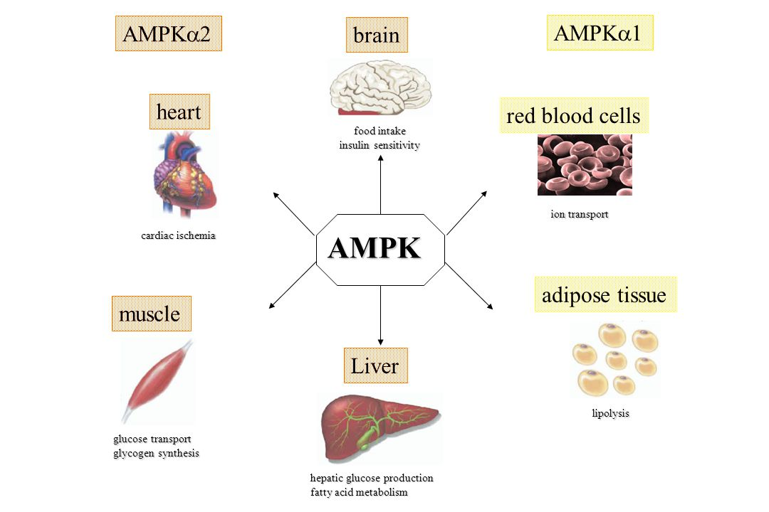 AMPK AMPK2 brain AMPK1 heart red blood cells adipose tissue muscle