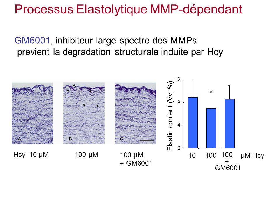 Processus Elastolytique MMP-dépendant