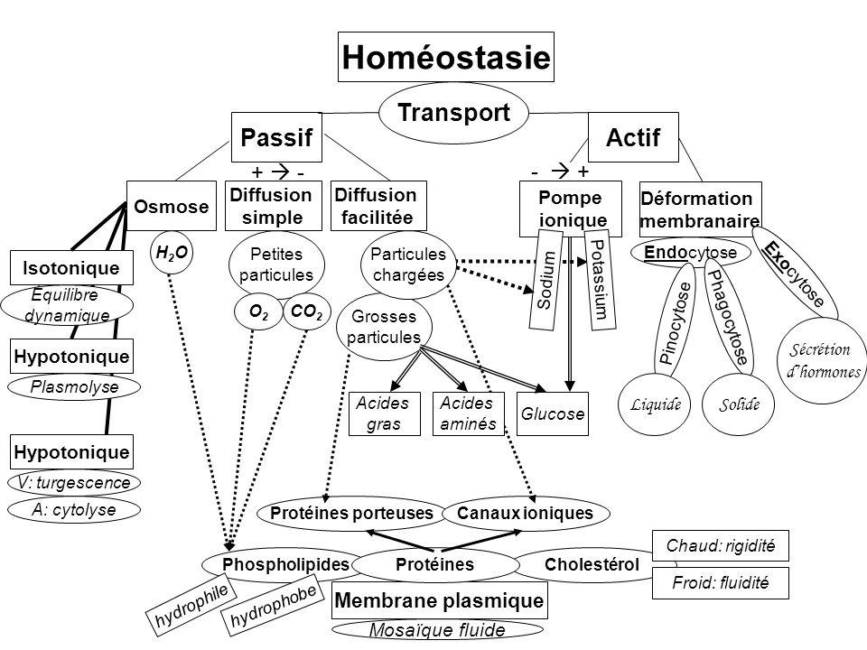 Homéostasie Transport Passif Actif +  - -  + Membrane plasmique