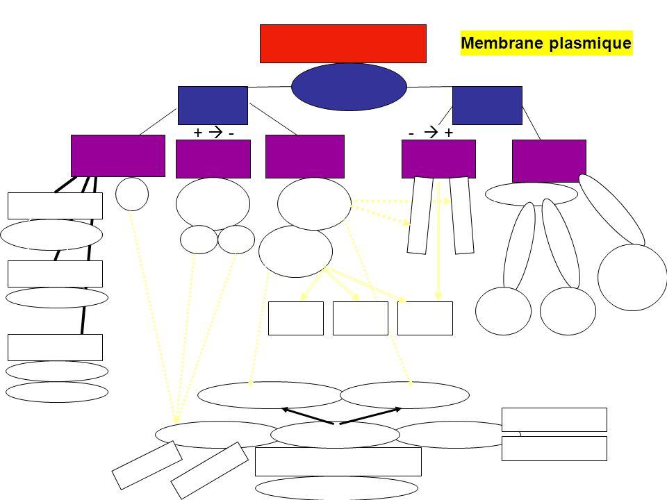 Homéostasie Transport Passif Actif Membrane plasmique +  - -  +