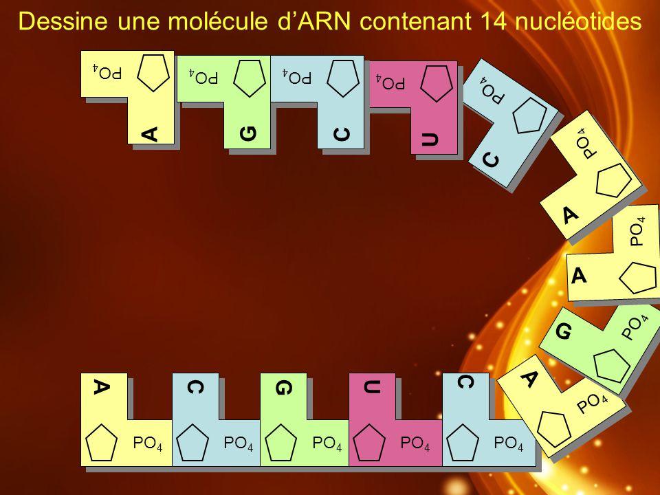 Dessine une molécule d'ARN contenant 14 nucléotides