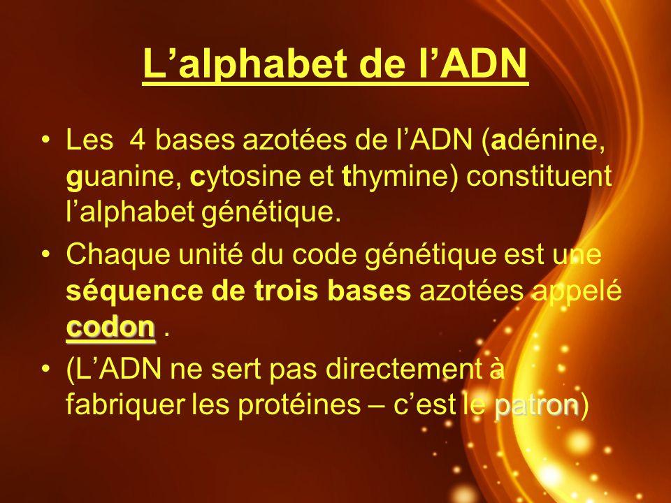 L'alphabet de l'ADN Les 4 bases azotées de l'ADN (adénine, guanine, cytosine et thymine) constituent l'alphabet génétique.