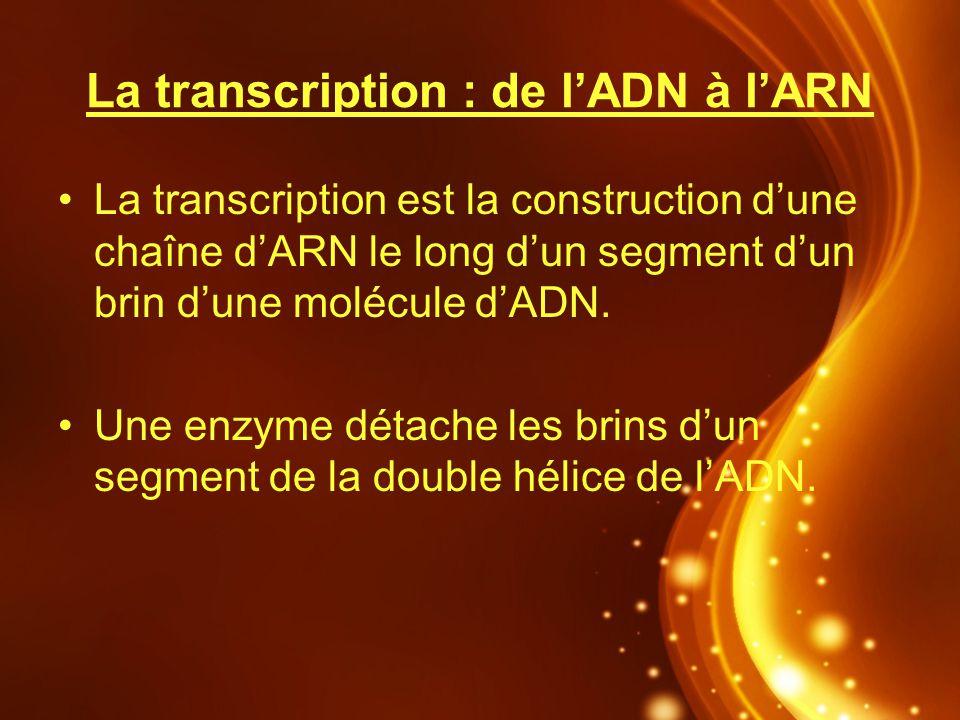 La transcription : de l'ADN à l'ARN