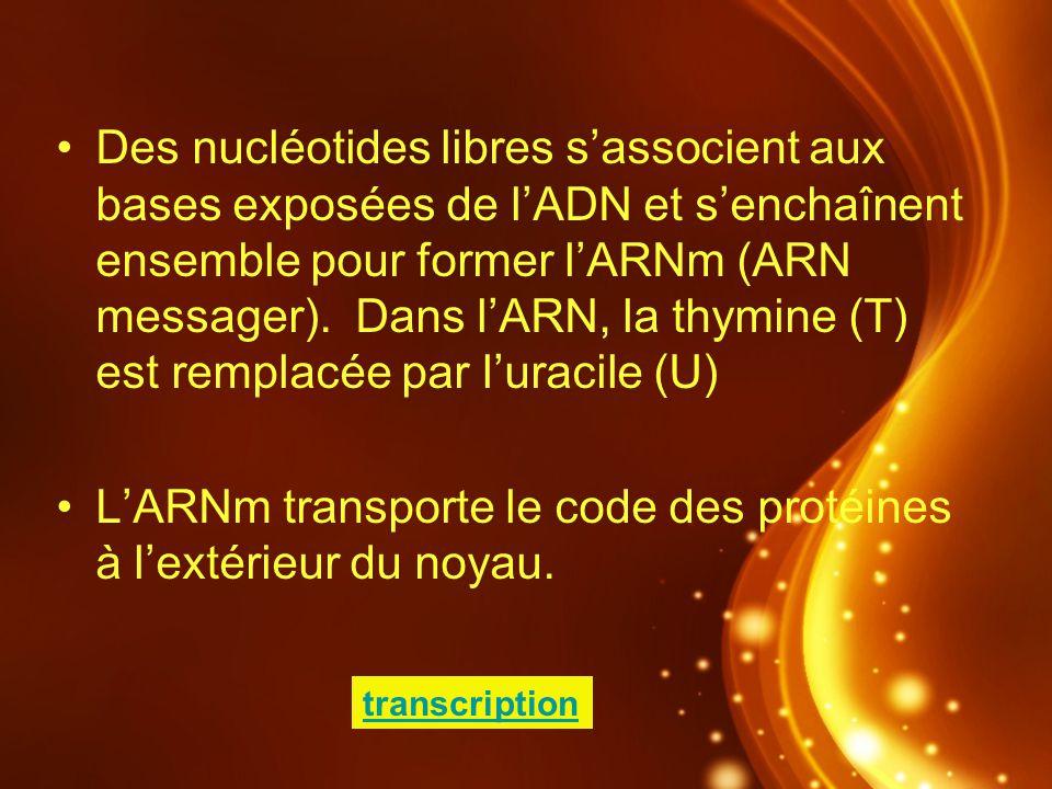 L'ARNm transporte le code des protéines à l'extérieur du noyau.