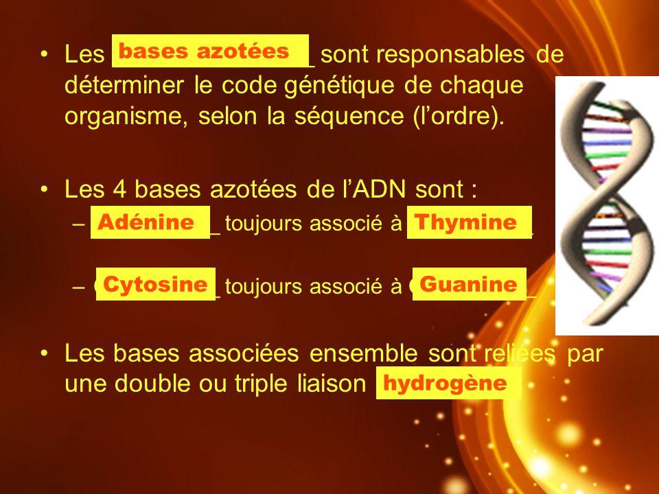 Les 4 bases azotées de l'ADN sont :