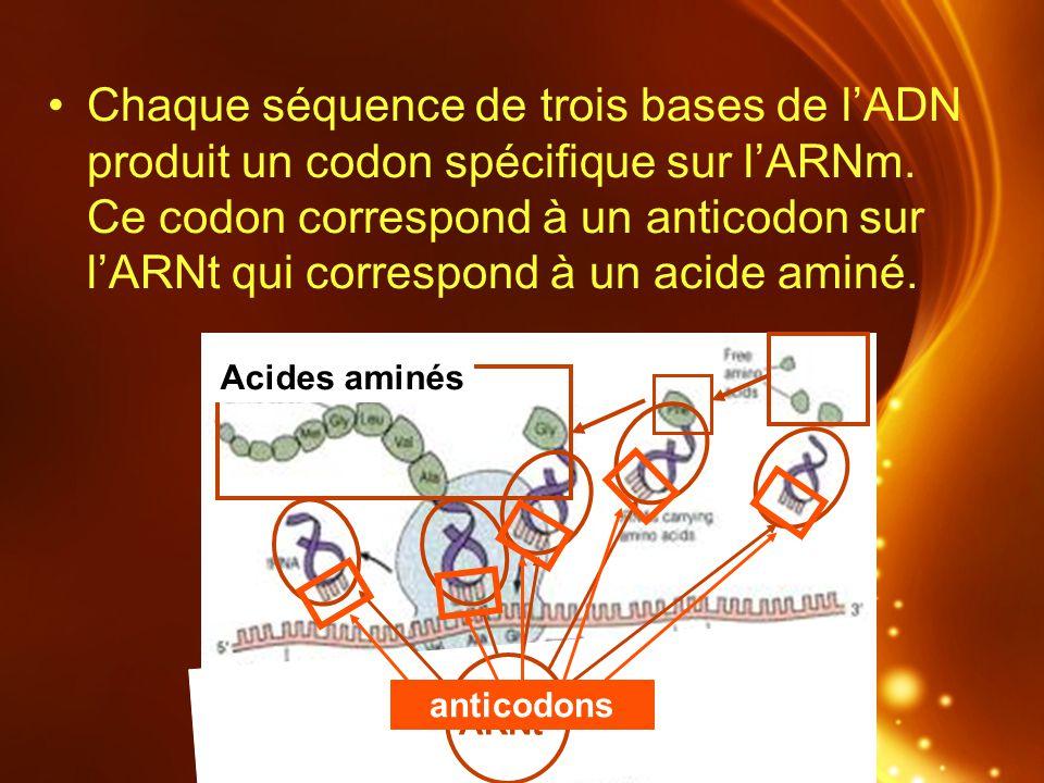 Chaque séquence de trois bases de l'ADN produit un codon spécifique sur l'ARNm. Ce codon correspond à un anticodon sur l'ARNt qui correspond à un acide aminé.