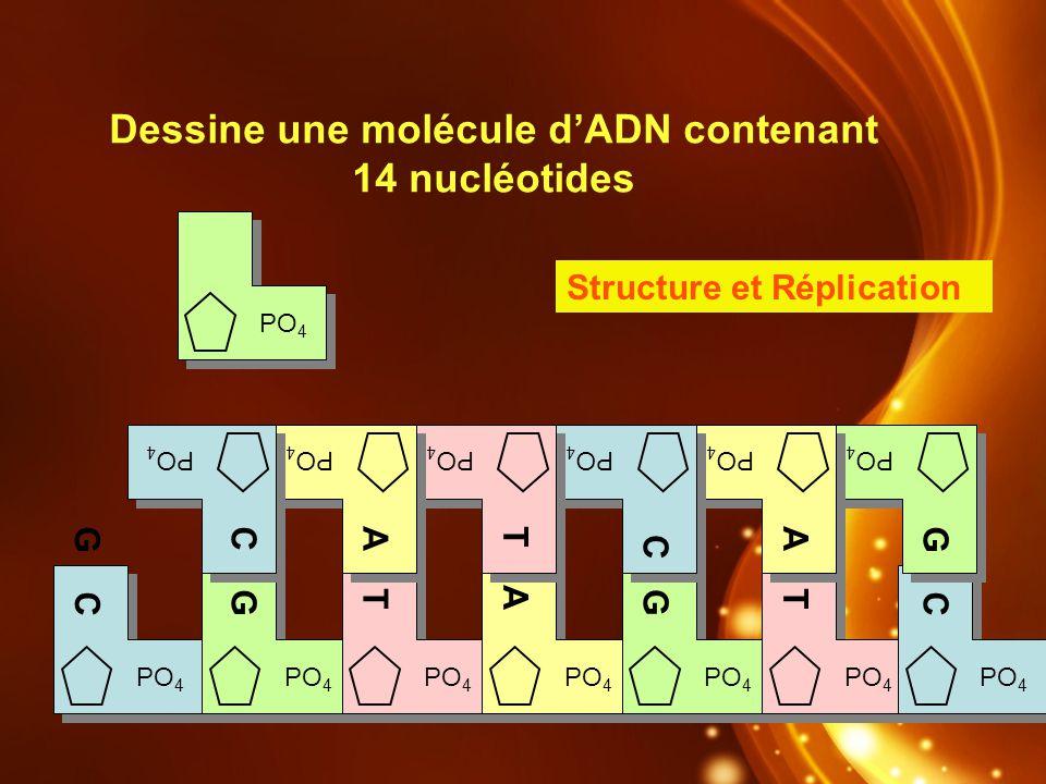 Dessine une molécule d'ADN contenant 14 nucléotides