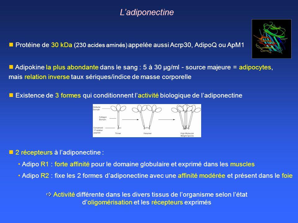 L'adiponectine Protéine de 30 kDa (230 acides aminés) appelée aussi Acrp30, AdipoQ ou ApM1.