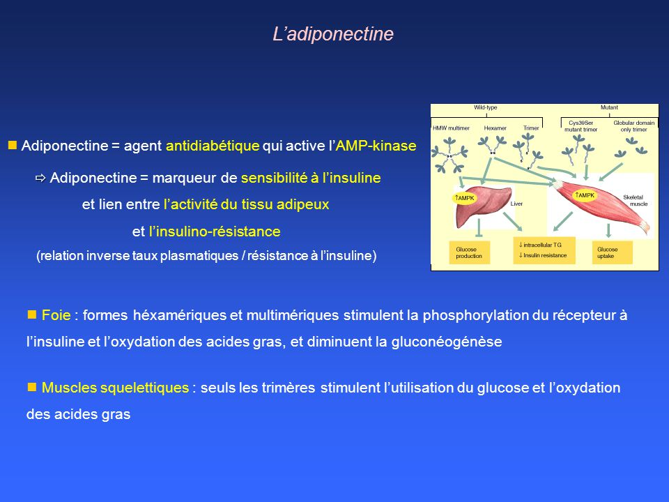 L'adiponectine Adiponectine = agent antidiabétique qui active l'AMP-kinase.