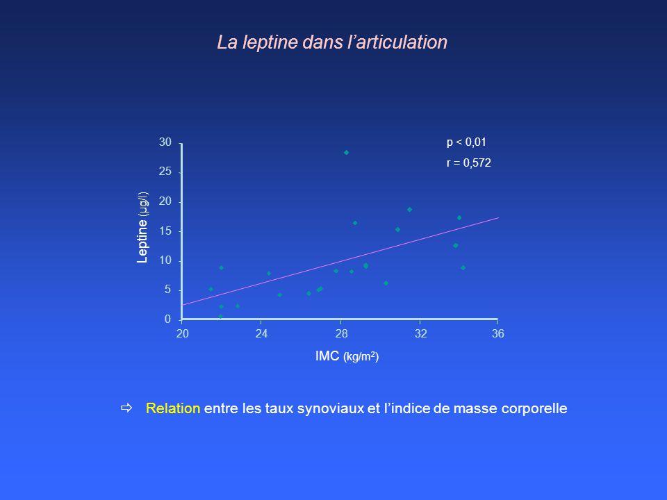 La leptine dans l'articulation